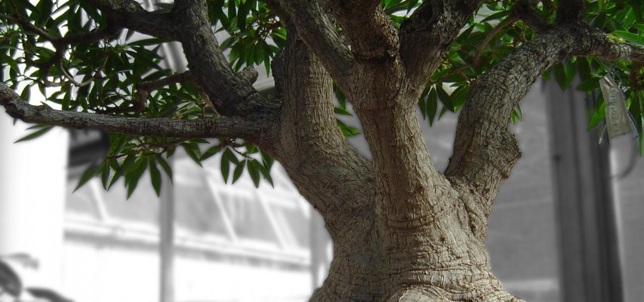 bonsai_tree